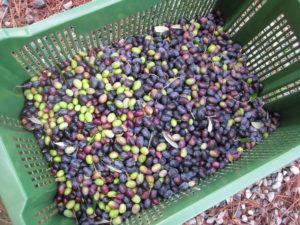Toskana und die Oliven Ernte 2009