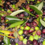 Oliven Toskana gute Qualität in 2009