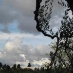 faszinierender Olivenbaum Toskana