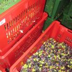 frisch geerntete Oliven in der Toskana ebi der Olivenmühle