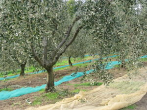 Olivenernte 2009 in der Toskana: harte Arbeit für wenig Öl