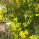 Mimosen Baum in Italien im Maerz am internationalen Frauentag