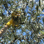 Olivenernte Toskana mit Hake