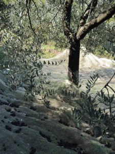 Toskana Olivenernte mit Netzen