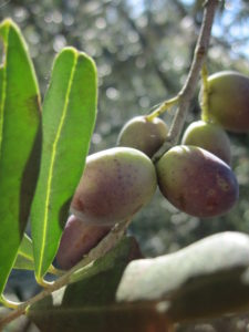 toskanische Oliven