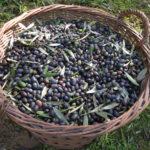 toskanische schwarze Oliven